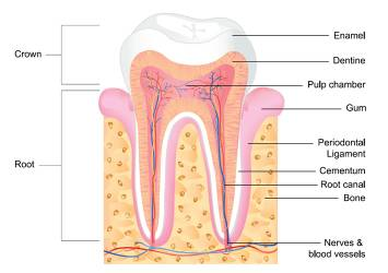 Cross section of a tooth.